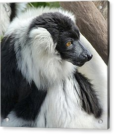 Black And White Ruffed Lemur Acrylic Print by Margaret Saheed