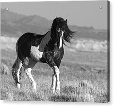 Black And White Stallion Walks Acrylic Print by Carol Walker