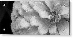 Black And White Zinnia Acrylic Print by Bruce Bley
