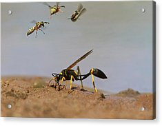 Black-and-yellow Mud Dauber (sceliphron Acrylic Print by Larry Ditto