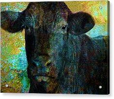 Black Angus Acrylic Print