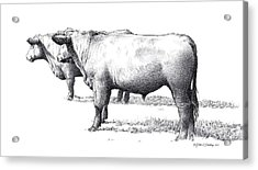 Black Angus Steers On Almshouse Road Acrylic Print by William Beauchamp