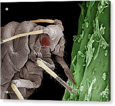 Black Aphid Feeding On Sap Acrylic Print by Clouds Hill Imaging Ltd