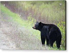 Black Bear 3 Acrylic Print by Andy Fung