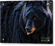 Acrylic Print featuring the photograph Black Bear by Clare VanderVeen