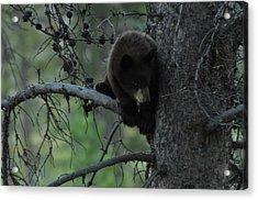 Black Bear Cub In Tree Acrylic Print