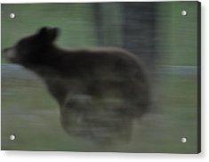 Black Bear Cub Running Acrylic Print