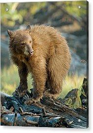Acrylic Print featuring the photograph Black Bear by Doug Herr
