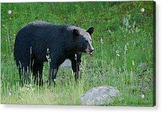 Black Bear Female Acrylic Print