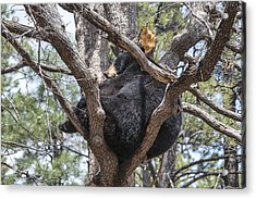 Black Bear In A Tree Acrylic Print