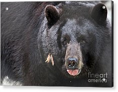 Black Bear Acrylic Print by Meg Rousher