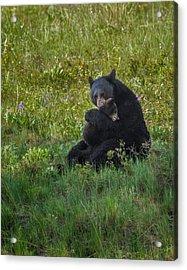 Black Bear Sow Hugging Cub Acrylic Print