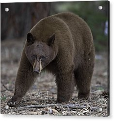 Black Bear Acrylic Print by Tom Wilbert