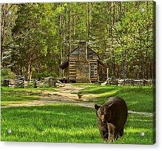 Black Bear Wandering II Acrylic Print
