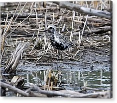 Black-belled Plover Acrylic Print by Ricky L Jones