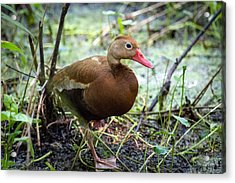 Black-bellied Whistling Duck 2 Acrylic Print