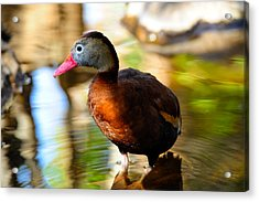 Black Bellied Whistling Duck Acrylic Print