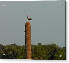 Black-bellied Whistling Duck Acrylic Print by Kay Gilley