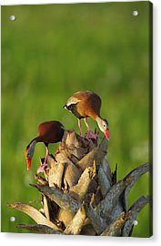 Black-bellied Whistling Duck Pair Acrylic Print