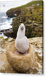 Black-browed Albatross Chick Falklands Acrylic Print by