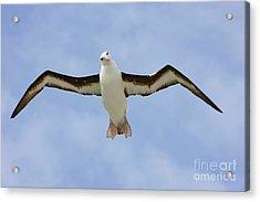 Black-browed Albatross Flying Acrylic Print by Yva Momatiuk John Eastcott
