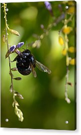Black Bumblebee Acrylic Print by Debra Martz