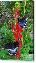 Black Butterflies Acrylic Print