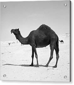Black Camel In Qatar Acrylic Print by Paul Cowan