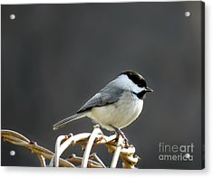 Black-capped Chickadee Acrylic Print by Brenda Bostic