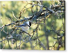 Black Capped Chickadee Acrylic Print by Debbie Oppermann