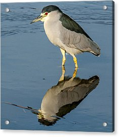 Black Capped Night Heron 6531 Acrylic Print