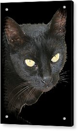 Black Cat Isolated On Black Background Acrylic Print by Tracey Harrington-Simpson