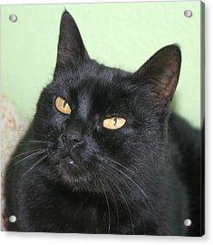 Black Cat Acrylic Print by Tracey Harrington-Simpson