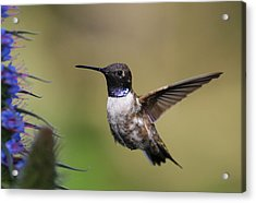 Black-chin Humming Bird Acrylic Print