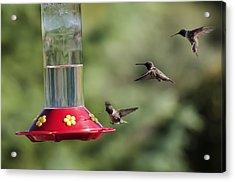 Black-chinned Hummingbird Action Panorama Acrylic Print