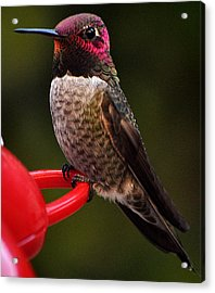 Acrylic Print featuring the photograph Black Chinned Male Hummingbird by Jay Milo