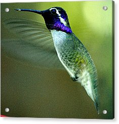 Acrylic Print featuring the photograph Black Chinned Male In Flight To Feeder by Jay Milo