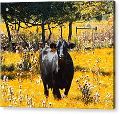 Black Cow And Field Flowers Acrylic Print