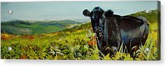 Black Cow Dartmoor Acrylic Print
