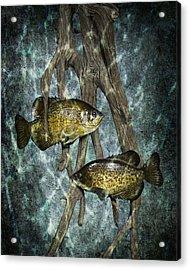 Black Crappies A Fish Image No 0143 Blue Version Acrylic Print