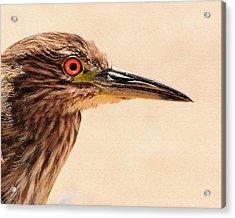 Black Crowned Night Heron 4 Acrylic Print by Bob and Nadine Johnston