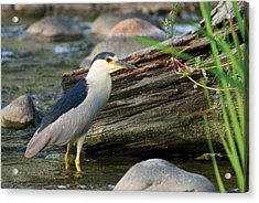 Black-crowned Night-heron Acrylic Print