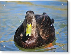 Black Duck Drake  Acrylic Print by James Lewis