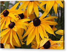 Black Eye Susan Flower Acrylic Print