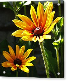 Acrylic Print featuring the photograph Black Eyed Susan by Al Fritz