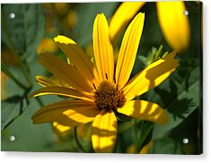 Acrylic Print featuring the photograph Black Eyed Susan by Cathy Shiflett