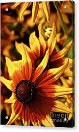 Acrylic Print featuring the photograph Black Eyed Susan by Linda Bianic