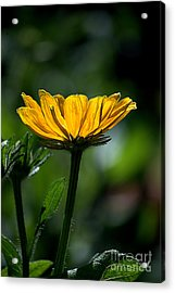 Black Eyed Susan Acrylic Print by Sharon Elliott