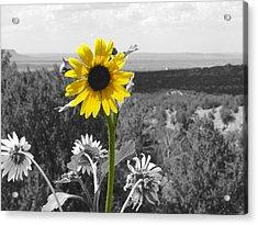 Black-eyed Susan Acrylic Print by Tom DiFrancesca