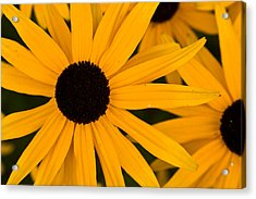 Black Eyed Susans Acrylic Print by Brent L Ander